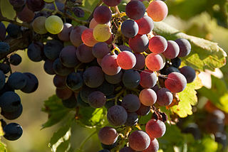 Wine grapes almost finished with veraison in the Roussillon